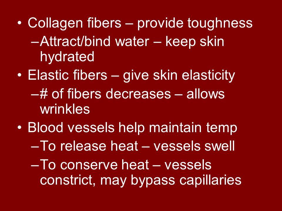 Collagen fibers – provide toughness