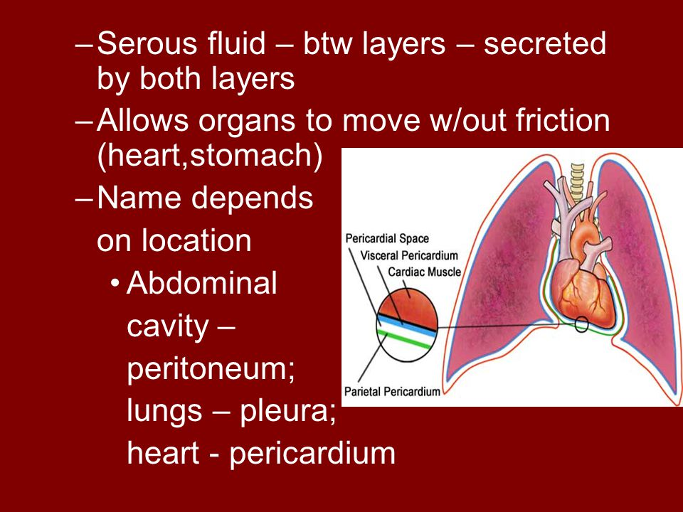 Serous fluid – btw layers – secreted by both layers