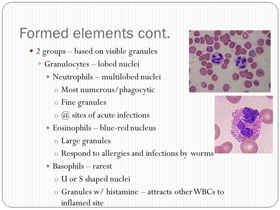 Formed elements cont. 2 groups – based on visible granules