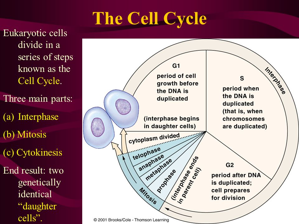 The Cell Cycle Eukaryotic cells divide in a series of steps known as the Cell Cycle. Three main parts: