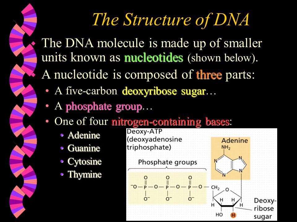 The Structure of DNA The DNA molecule is made up of smaller units known as nucleotides (shown below).