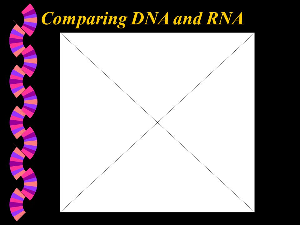 Chapter 10 Comparing DNA and RNA