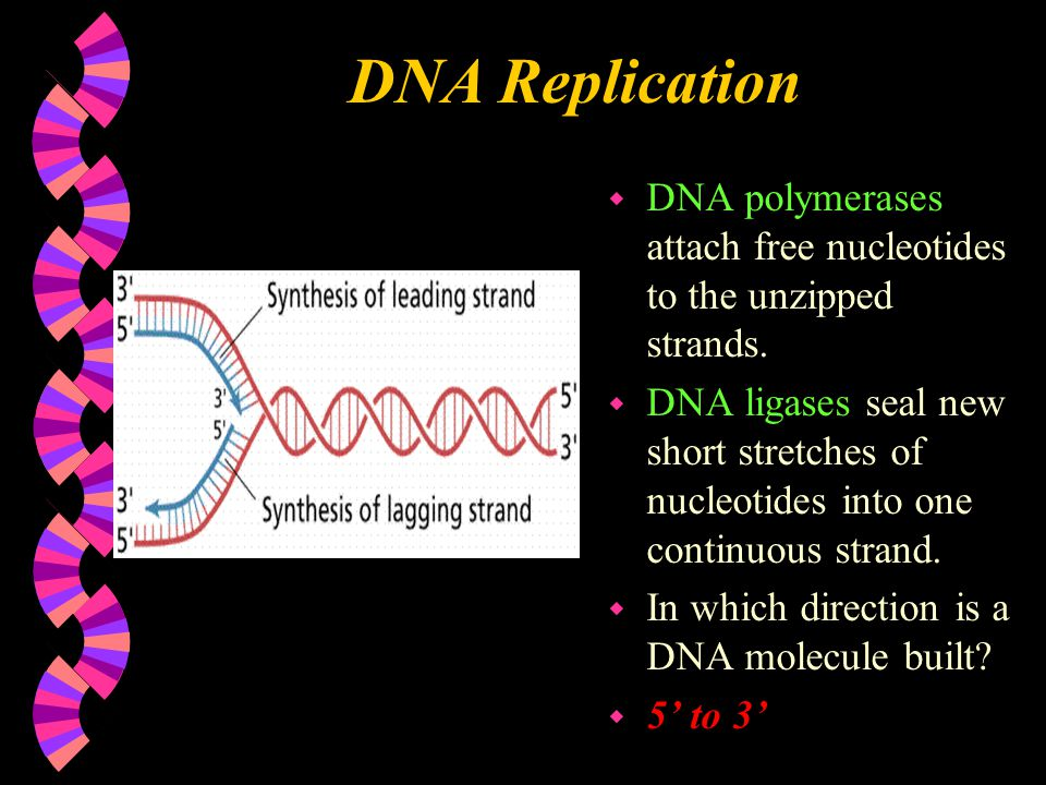 DNA Replication DNA polymerases attach free nucleotides to the unzipped strands.