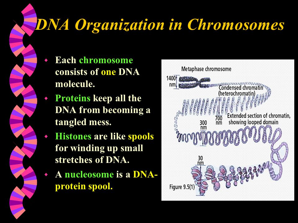 DNA Organization in Chromosomes