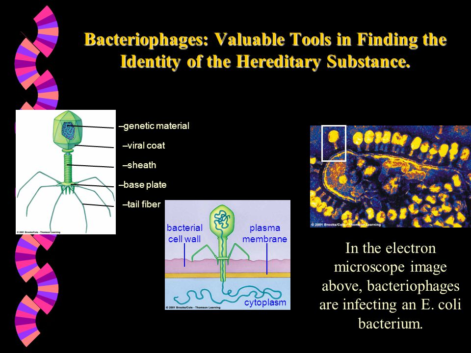 Bacteriophages: Valuable Tools in Finding the Identity of the Hereditary Substance.