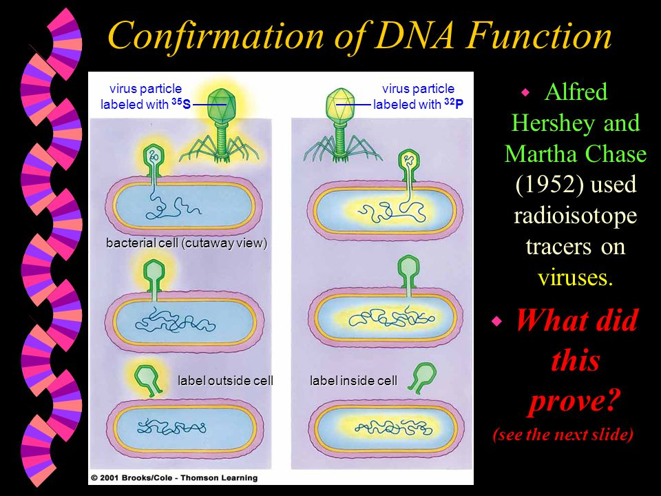 Confirmation of DNA Function
