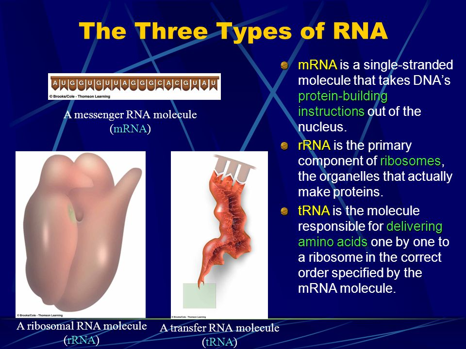 The Three Types of RNA mRNA is a single-stranded molecule that takes DNA's protein-building instructions out of the nucleus.