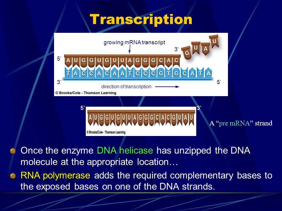Transcription growing mRNA transcript. 3' 5' 3' 5' direction of transcription. 3' 5' A pre mRNA strand.