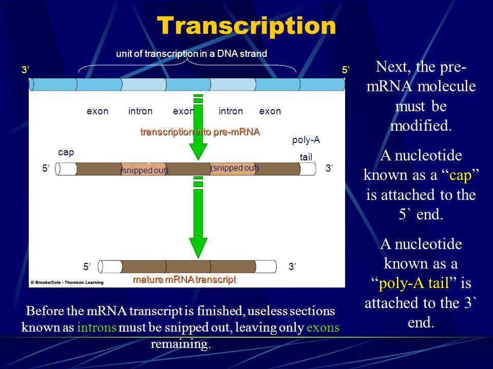 Transcription Next, the pre- mRNA molecule must be modified.