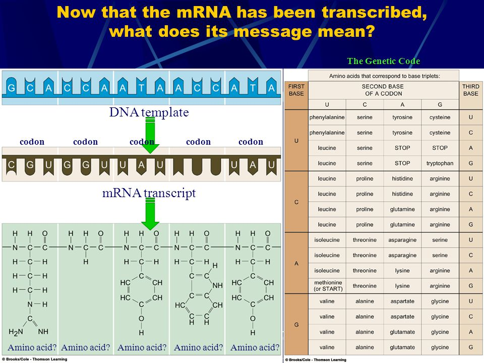 Now that the mRNA has been transcribed, what does its message mean