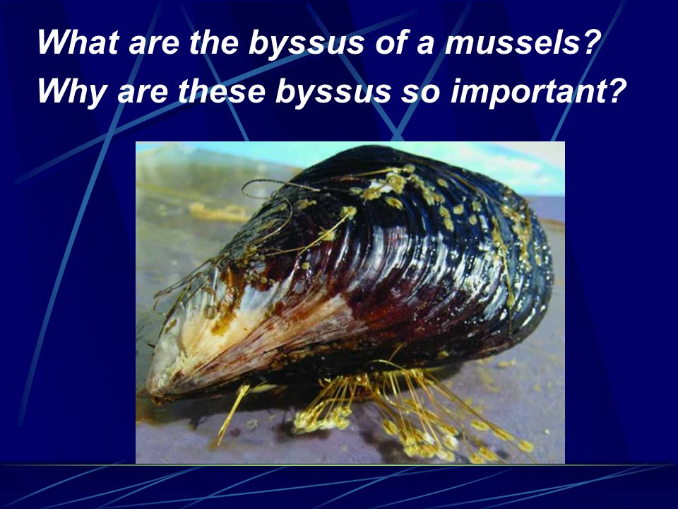 What are the byssus of a mussels Why are these byssus so important