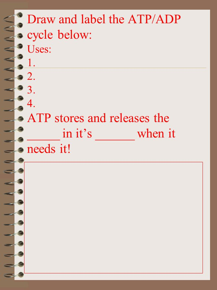 Draw and label the ATP/ADP cycle below: Uses: 1. 2. 3. 4