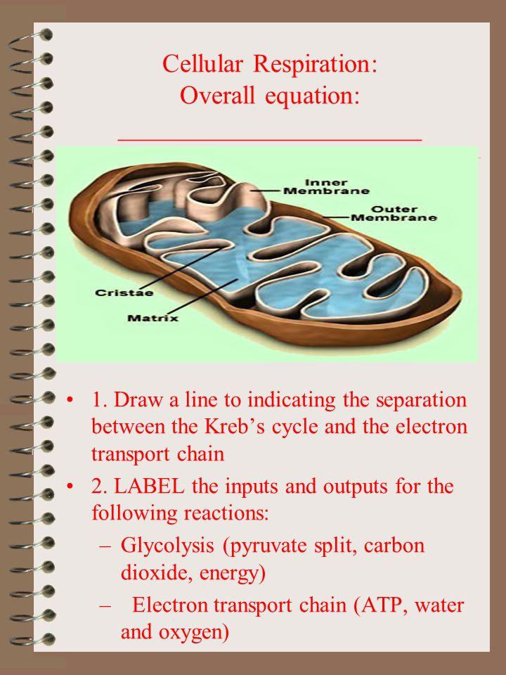 Cellular Respiration: Overall equation: _______________________