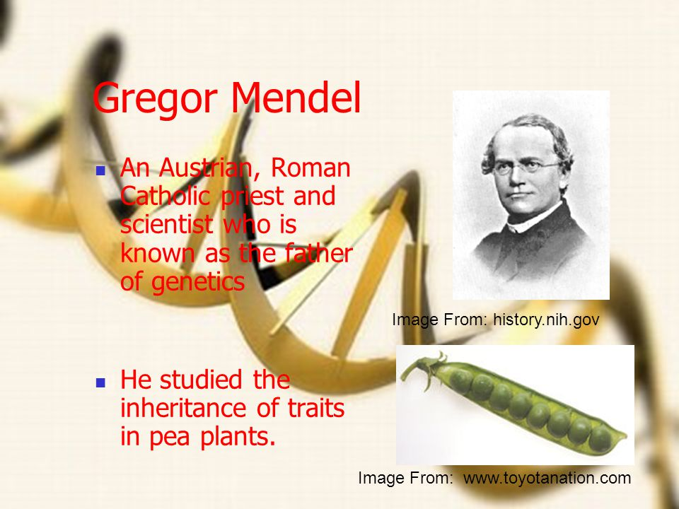 Gregor Mendel An Austrian, Roman Catholic priest and scientist who is known as the father of genetics.