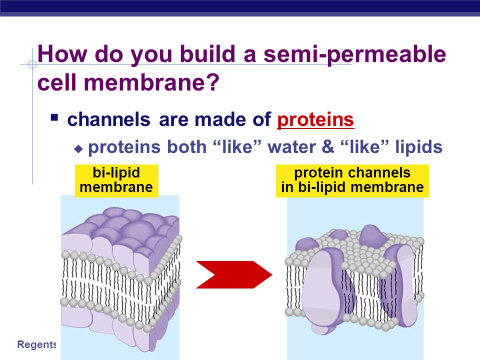 How do you build a semi-permeable cell membrane