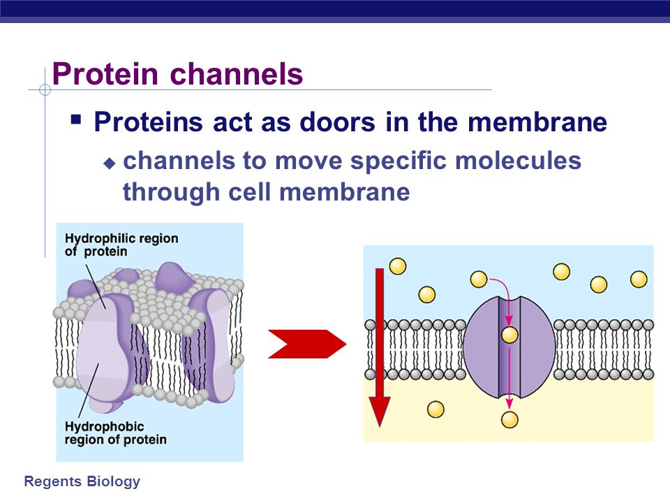 Protein channels Proteins act as doors in the membrane