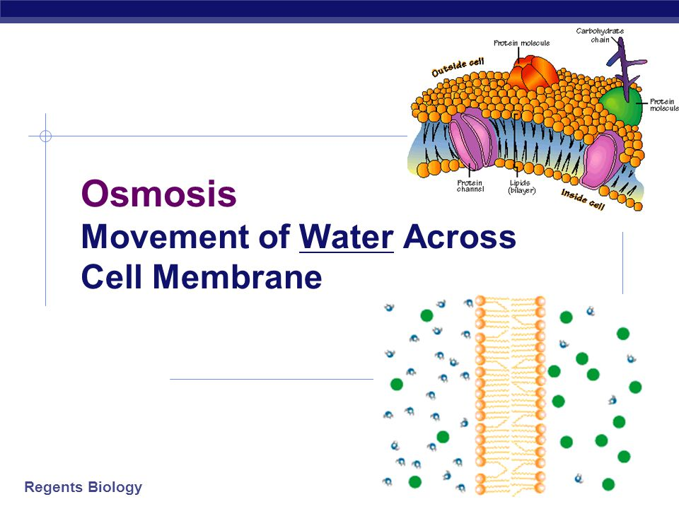 Osmosis Movement of Water Across Cell Membrane
