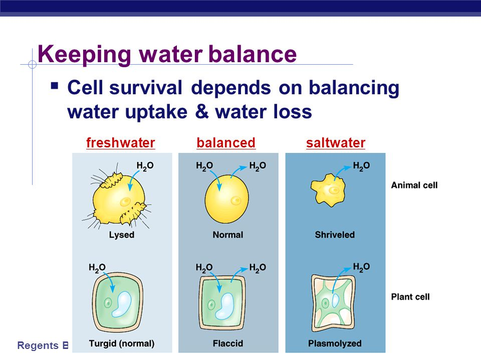 Keeping water balance Cell survival depends on balancing water uptake & water loss. freshwater. balanced.