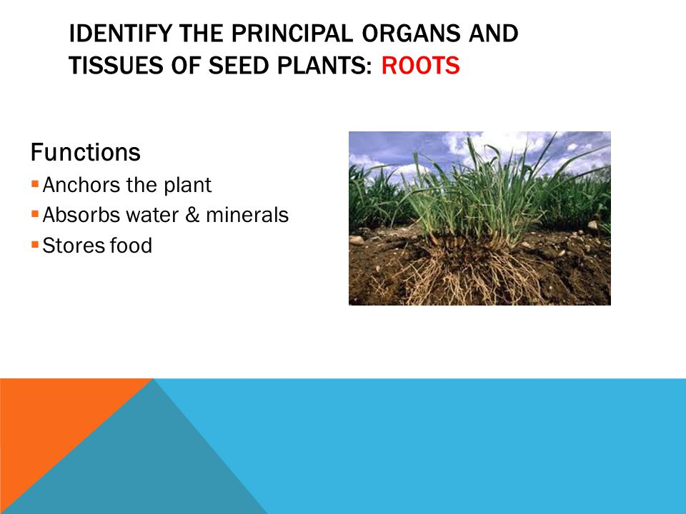Identify the principal organs and tissues of seed plants: Roots