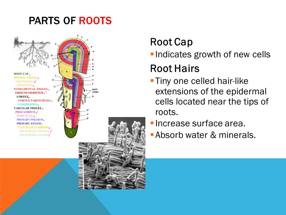 Parts of Roots Root Cap Root Hairs Indicates growth of new cells