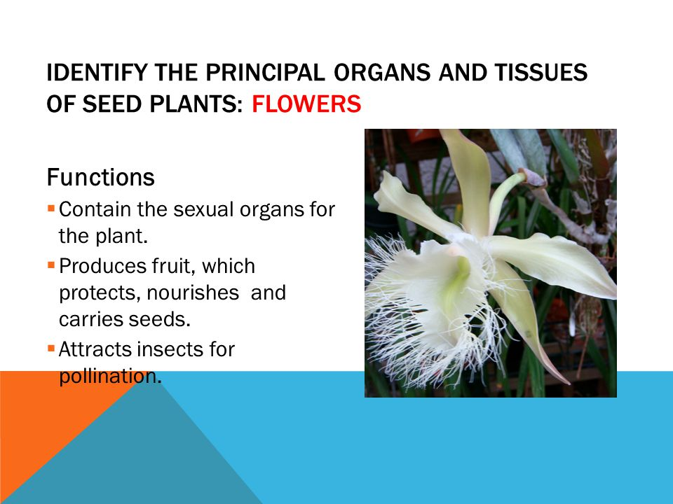 Identify the principal organs and tissues of seed plants: Flowers