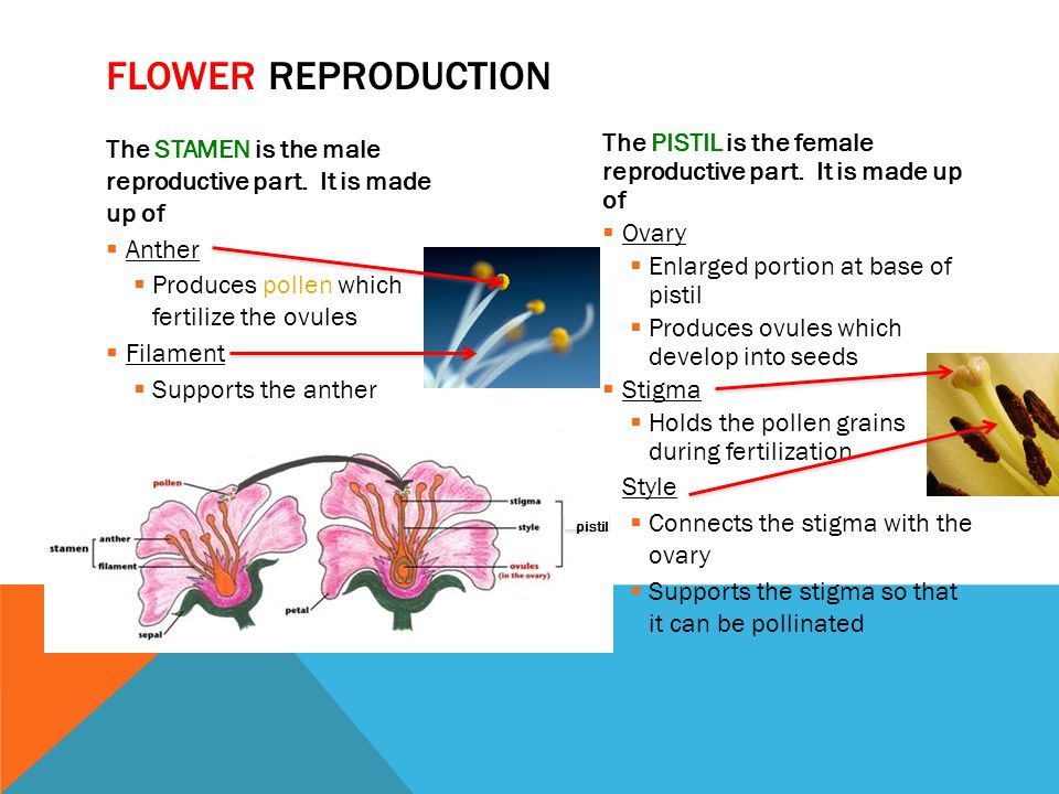 Flower reproduction The STAMEN is the male reproductive part. It is made up of. Anther. Produces pollen which fertilize the ovules.