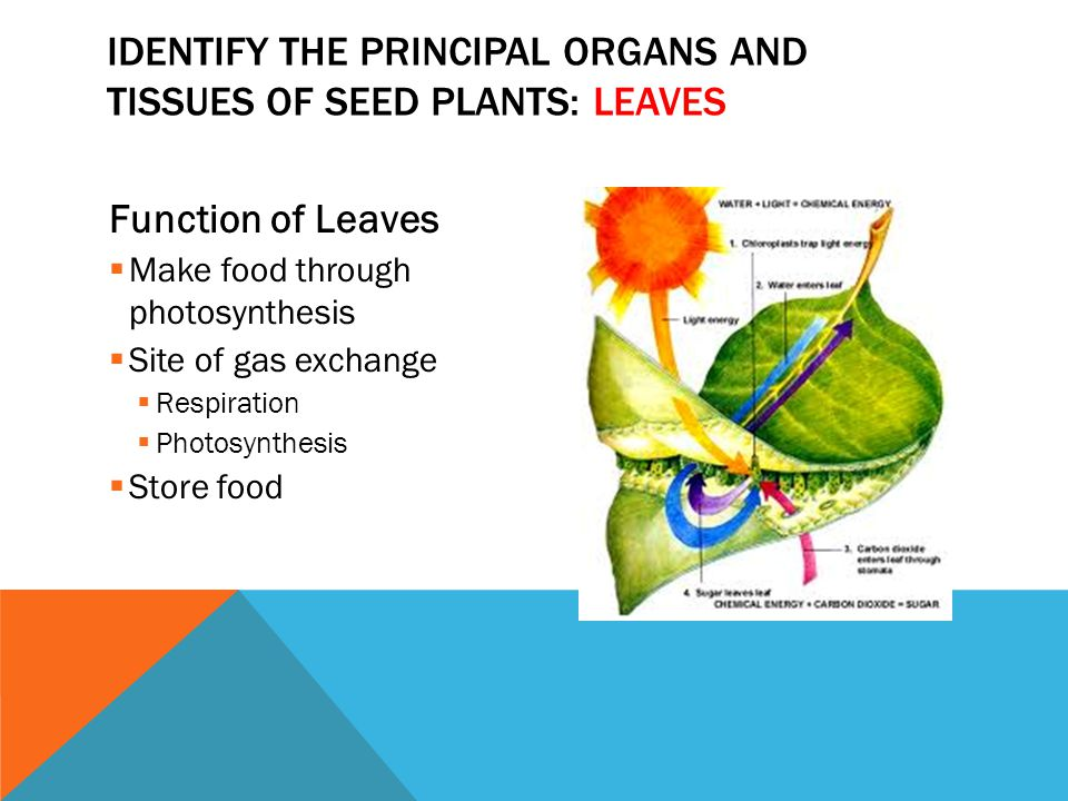 Identify the principal organs and tissues of seed plants: leaves