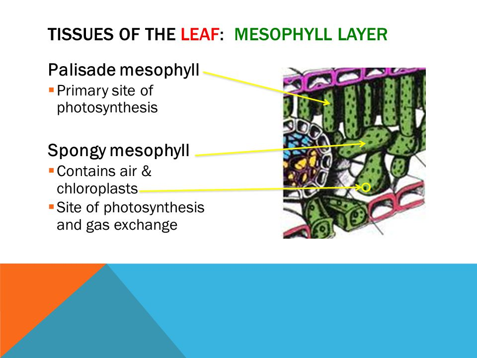 Tissues of the Leaf: Mesophyll Layer
