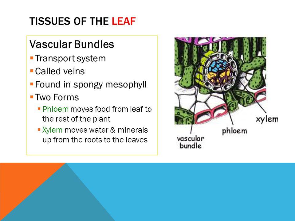 Tissues of the Leaf Vascular Bundles Transport system Called veins