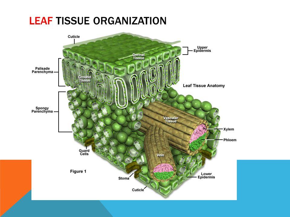 Leaf Tissue organization