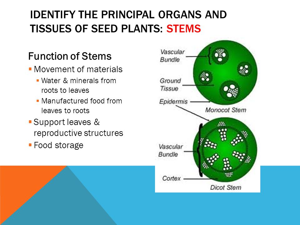 Identify the principal organs and tissues of seed plants: stems