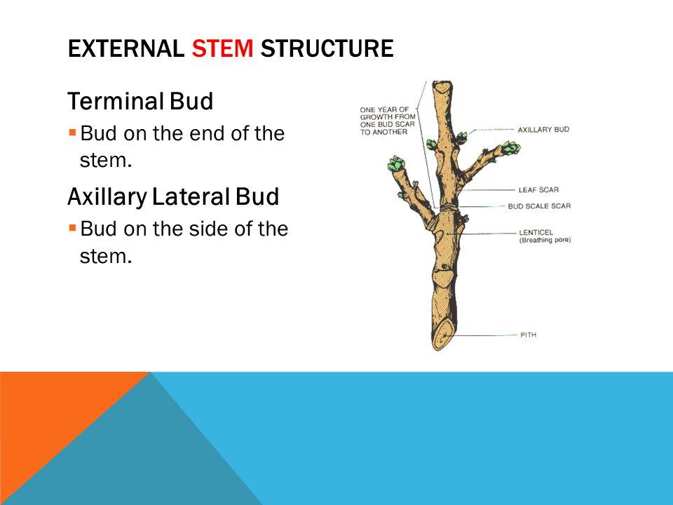 External Stem Structure