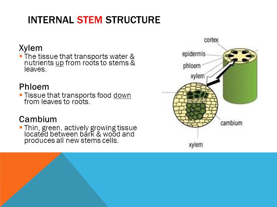Internal Stem Structure