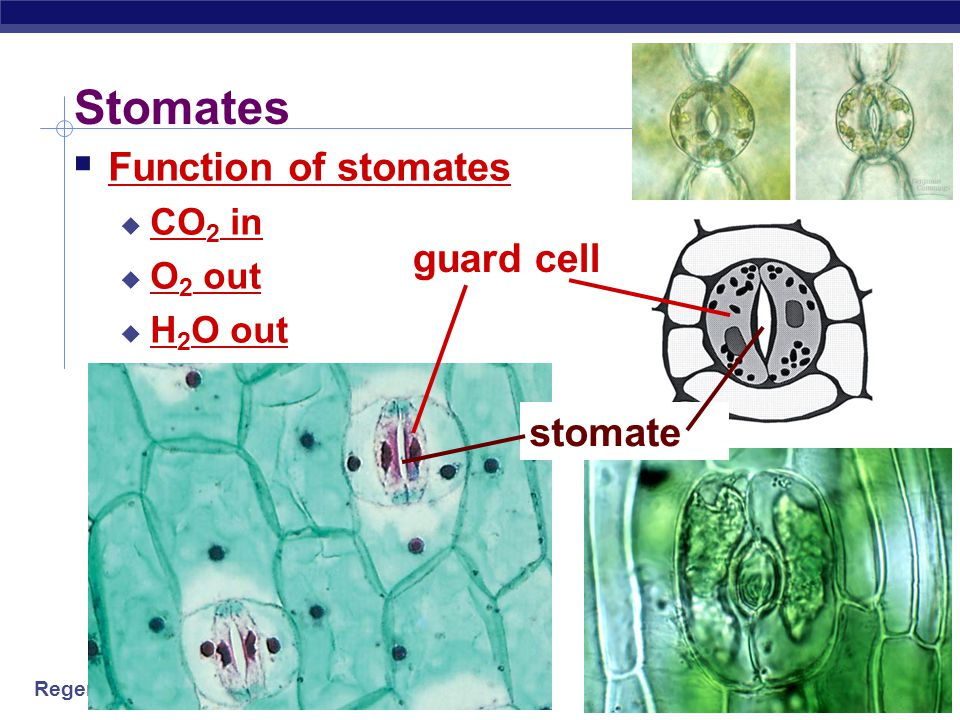 Stomates Function of stomates CO2 in O2 out H2O out guard cell stomate