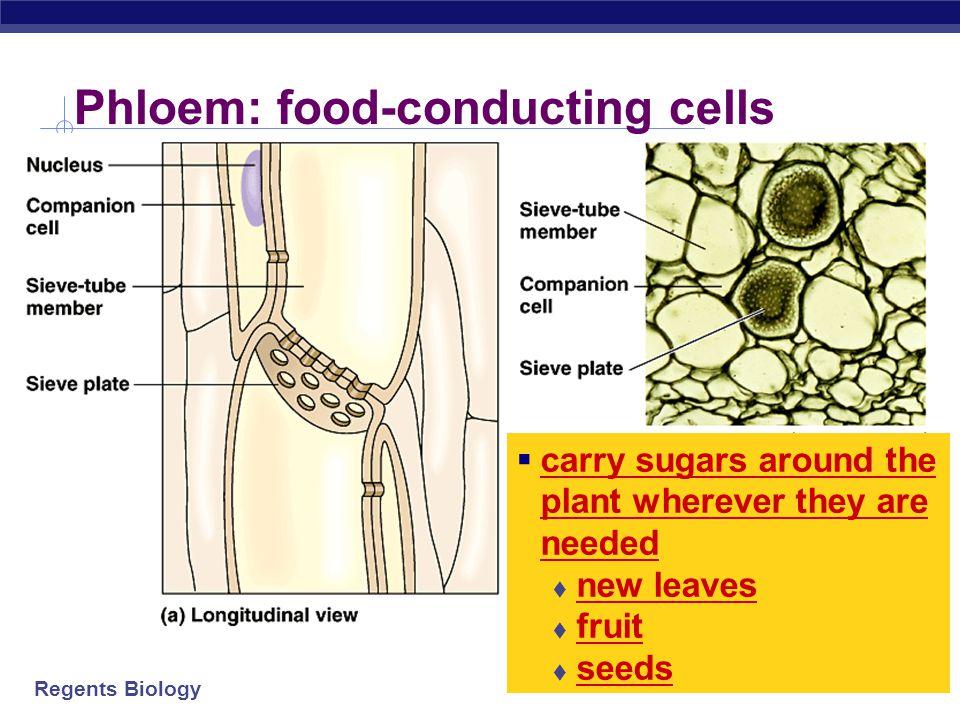 Phloem: food-conducting cells