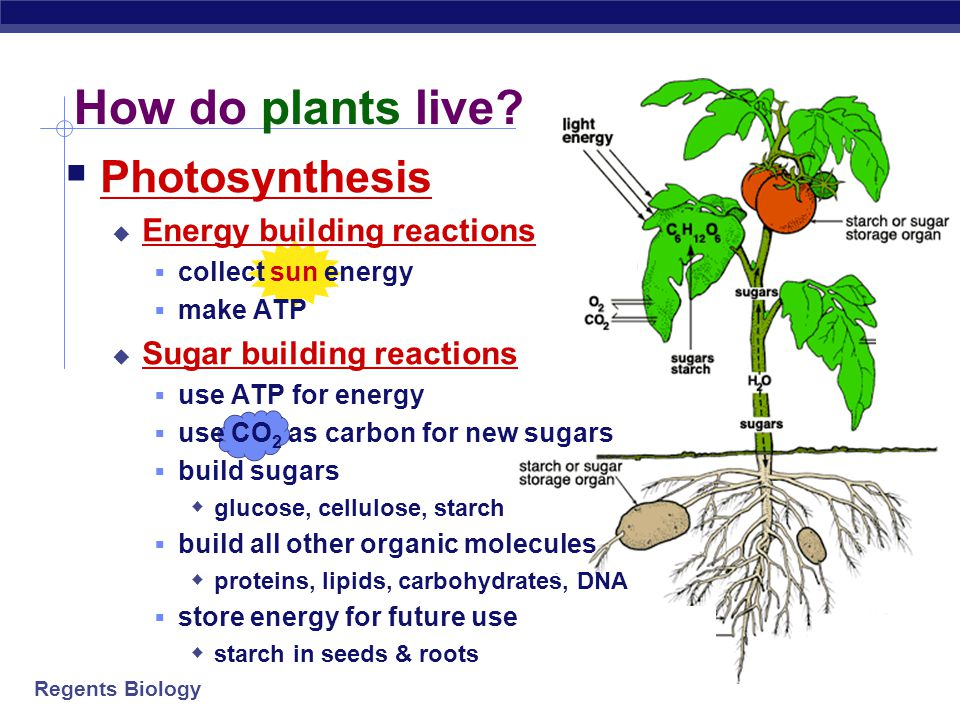 How do plants live Photosynthesis Energy building reactions