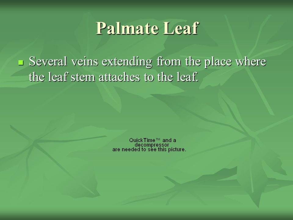 Palmate Leaf Several veins extending from the place where the leaf stem attaches to the leaf.