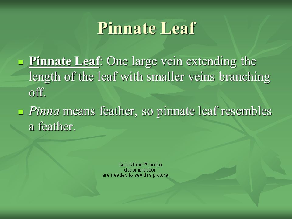 Pinnate Leaf Pinnate Leaf: One large vein extending the length of the leaf with smaller veins branching off.