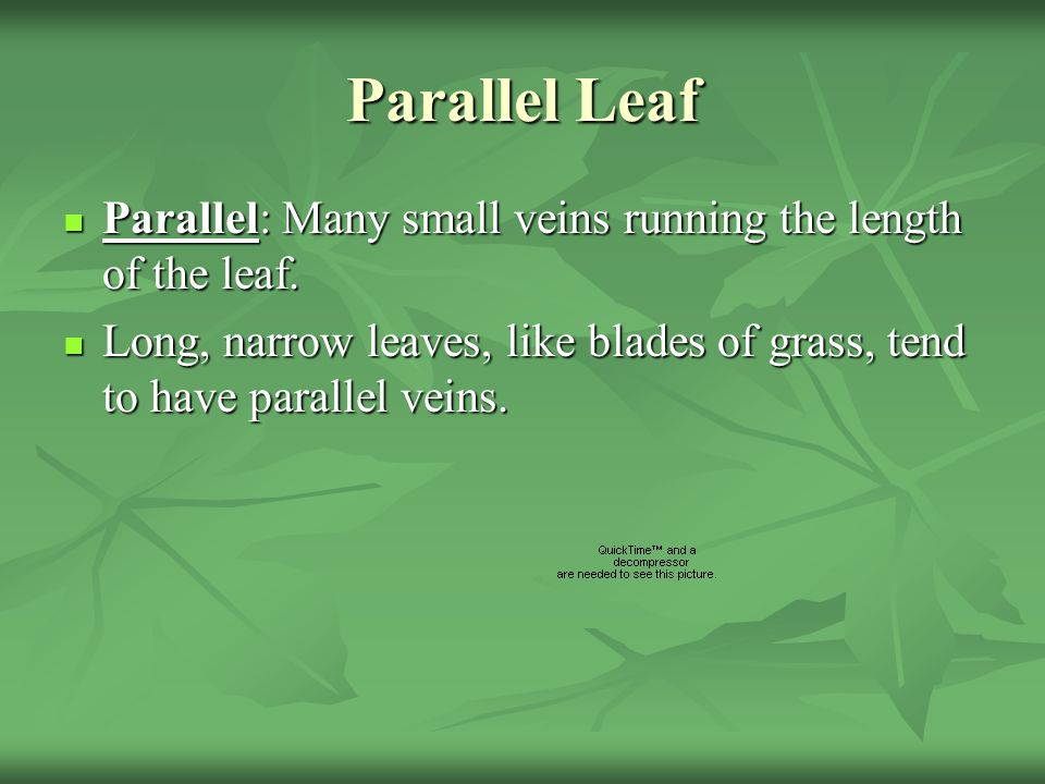 Parallel Leaf Parallel: Many small veins running the length of the leaf.