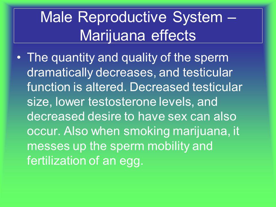 Male Reproductive System – Marijuana effects