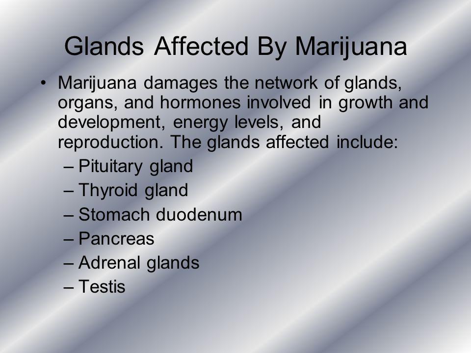 Glands Affected By Marijuana