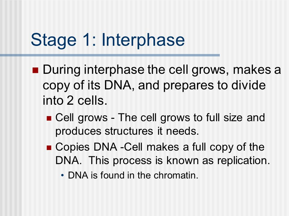 Stage 1: Interphase During interphase the cell grows, makes a copy of its DNA, and prepares to divide into 2 cells.