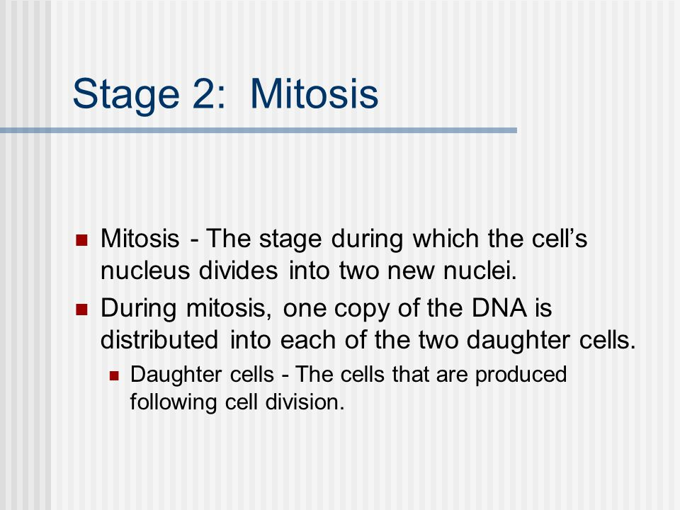 Stage 2: Mitosis Mitosis - The stage during which the cell's nucleus divides into two new nuclei.