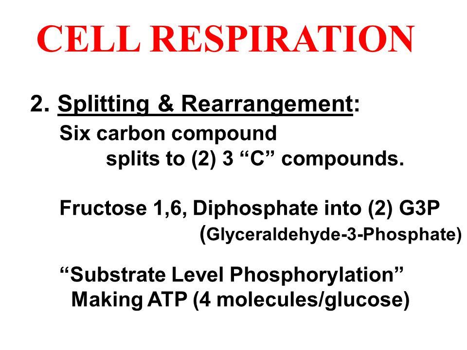 CELL RESPIRATION 2. Splitting & Rearrangement: Six carbon compound