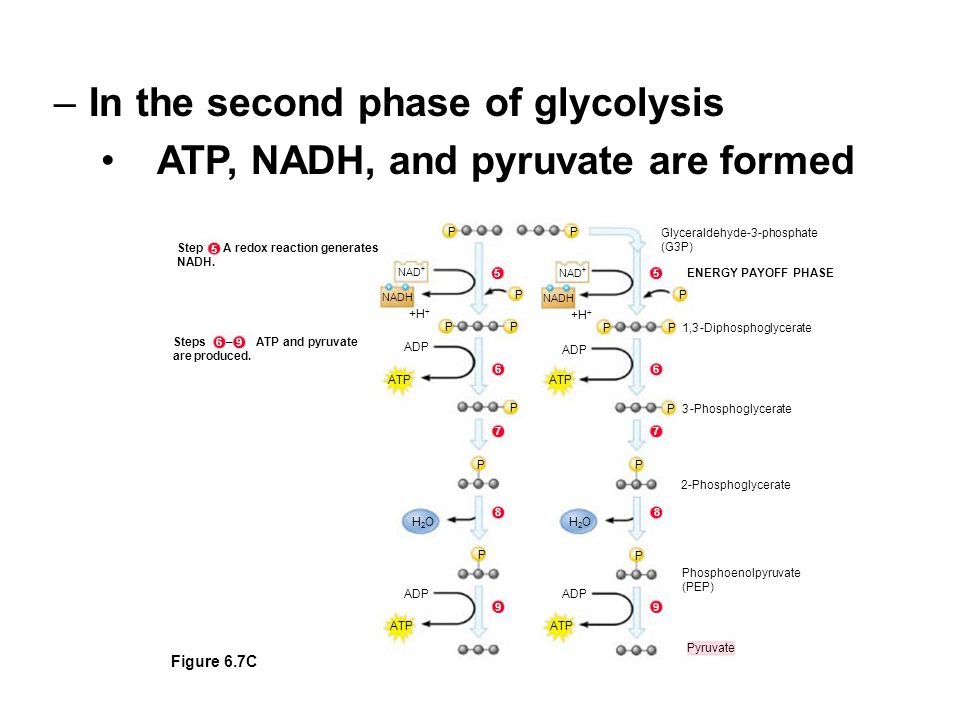 In the second phase of glycolysis ATP, NADH, and pyruvate are formed