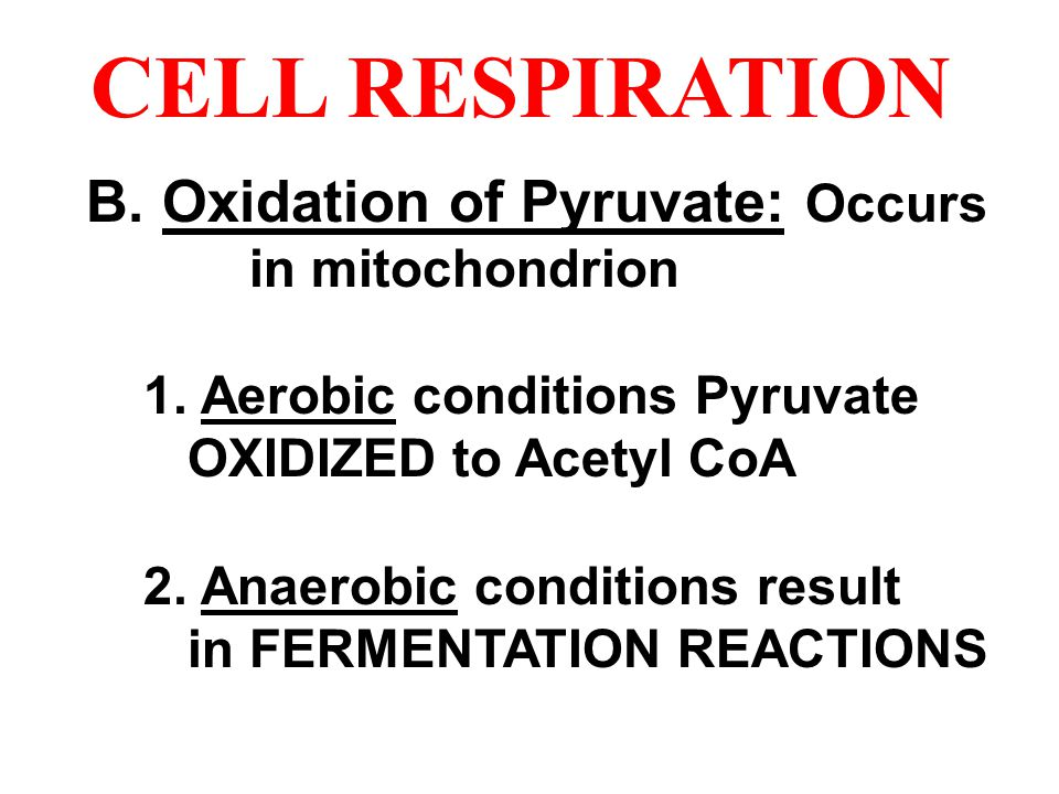 CELL RESPIRATION B. Oxidation of Pyruvate: Occurs in mitochondrion