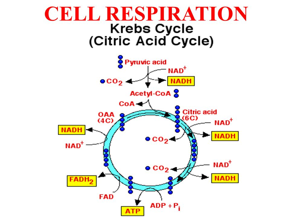 CELL RESPIRATION