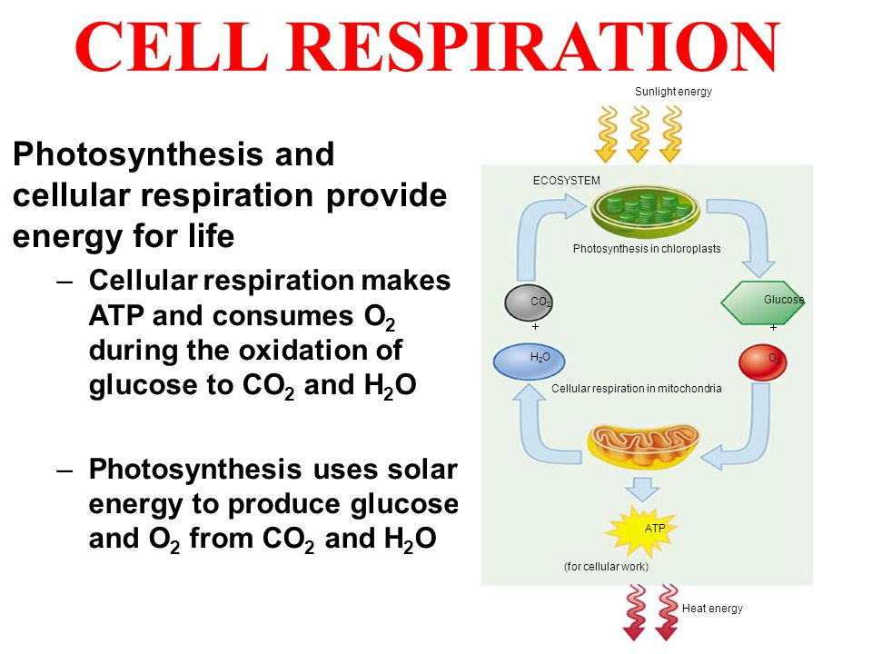 CELL RESPIRATION CO2. H2O. Glucose. O2. ATP. ECOSYSTEM. Sunlight energy. Photosynthesis in chloroplasts.
