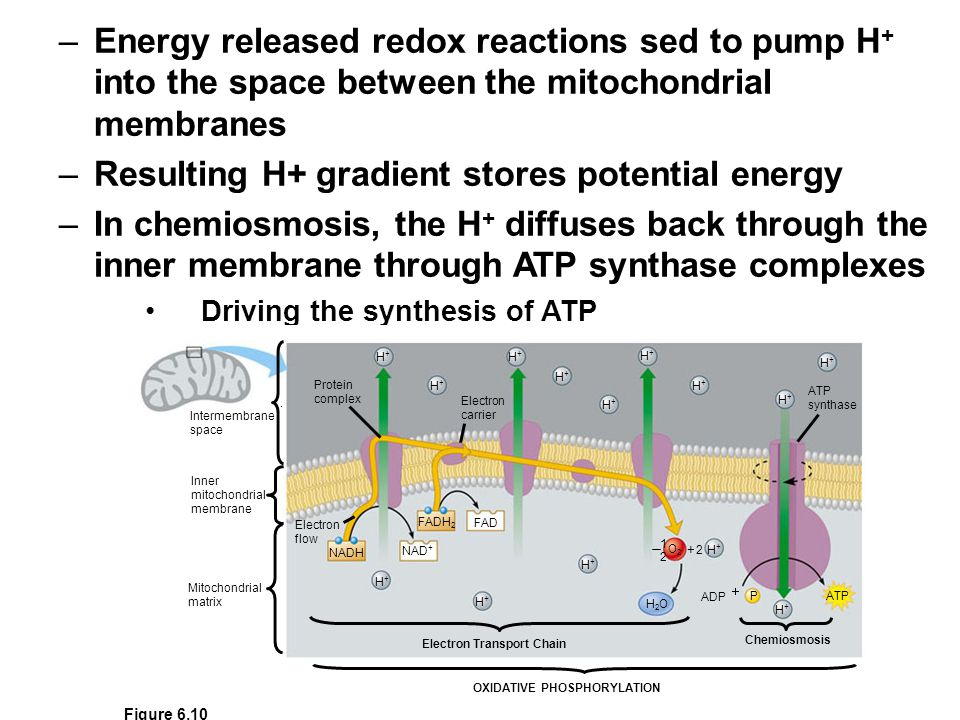 Resulting H+ gradient stores potential energy
