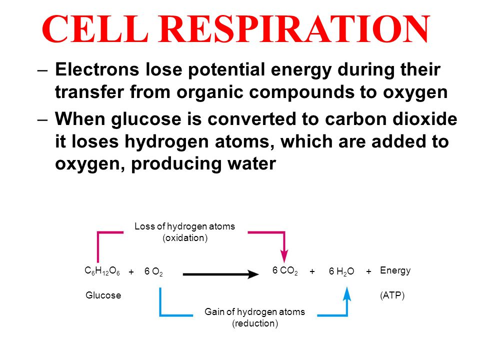 CELL RESPIRATION Electrons lose potential energy during their transfer from organic compounds to oxygen.